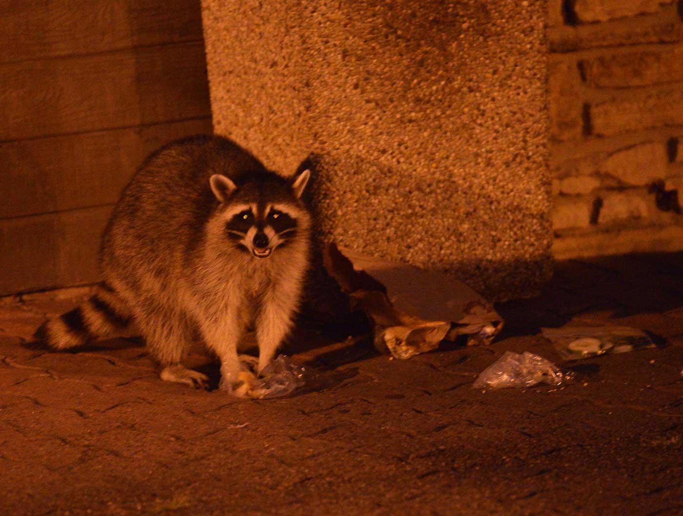 Meet \'Rocky,\' the Riverwalk Raccoon - Positively Naperville