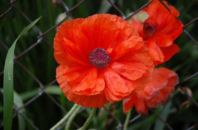 Veterans in touch poppy days positively naperville mightylinksfo